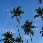 Palmen auf Koh Samui