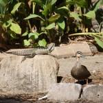 Im Botanischen Garten treffen sich Leguan und Ente