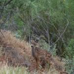 Rehkitz im Zion Nationalpark