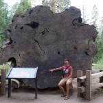 Der Querschnitt eines Mammutbaumes